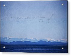 Acrylic Print featuring the photograph Snow Geese Over The Ocean by Peggy Collins