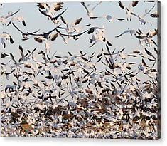 Snow Geese Takeoff From Farmers Corn Field. Acrylic Print by Allan Levin