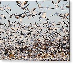 Snow Geese Takeoff From Farmers Corn Field. Acrylic Print