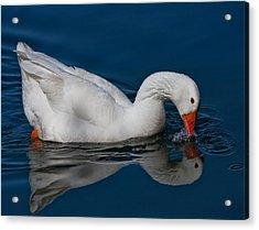 Snow Goose Reflected Acrylic Print by John Haldane