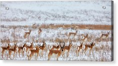 Snow Grazers Acrylic Print by Darren  White