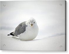 Snow Gull Acrylic Print by Karol Livote