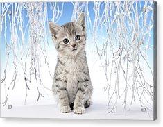 Snow Kitten Acrylic Print by Greg Cuddiford