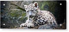 Snow Leopard Cub Acrylic Print