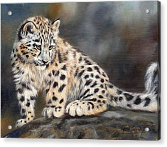 Snow Leopard Cub Acrylic Print by David Stribbling