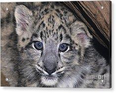 Snow Leopard Cub Endangered Acrylic Print