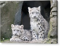 Snow Leopard Cubs Acrylic Print by Chris Boulton