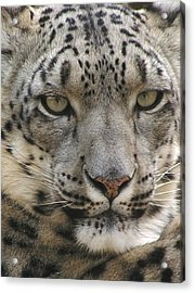 Acrylic Print featuring the photograph Snow Leopard by Diane Alexander