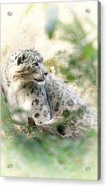 Snow Leopard Pose Acrylic Print by Karol Livote