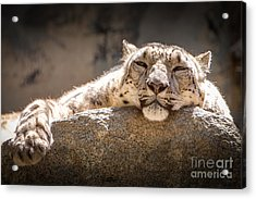 Acrylic Print featuring the photograph Snow Leopard Relaxing by John Wadleigh
