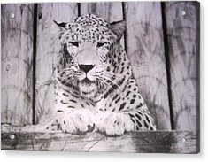 White Snow Leopard Chillin Acrylic Print by Belinda Lee