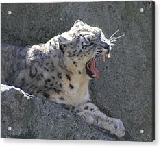 Acrylic Print featuring the photograph Snow Leopard Yawn by Neal Eslinger