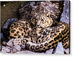 Acrylic Print featuring the photograph Snow Leopards by Cathy Donohoue