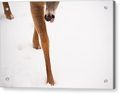 Snow Licking Good Acrylic Print by Karol Livote