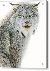Snow Lynx Acrylic Print by Irene Suchocki