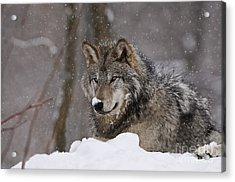 Snow Nose Acrylic Print by Wolves Only