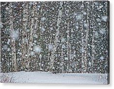 Snow On Birch  Acrylic Print