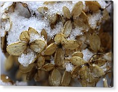 Snow On Hydrangea Acrylic Print