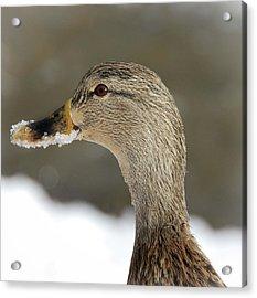 Snow On My Beak  Acrylic Print by Elaine Manley