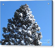 Snow On The Pine Acrylic Print by Donna Cavender