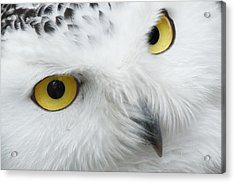 Snow Owl Eyes Acrylic Print by Tilen Hrovatic