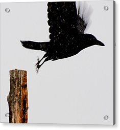 Acrylic Print featuring the photograph Snow Raven Blurr by Britt Runyon