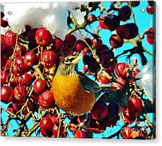 Snow Robin And Crabapples Acrylic Print