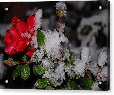 Snow Rose Acrylic Print by Mim White