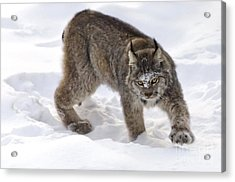 Snow-shovelling Lynx Acrylic Print by Dee Cresswell