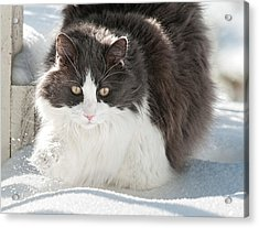 Acrylic Print featuring the photograph Snow Sticks To Your Paws by Lara Ellis