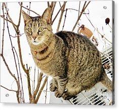 Snow Tiger Acrylic Print by Judy Via-Wolff