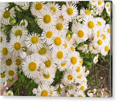 Snow White Asters Acrylic Print by Allan Levin