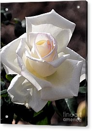 Snow White Rose Acrylic Print by Kirt Tisdale