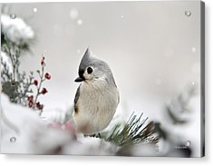 Snow White Tufted Titmouse Acrylic Print by Christina Rollo