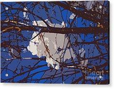 Snowball Acrylic Print by Carol Lynch