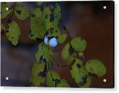 Snowberries Acrylic Print by Dorothy Hall