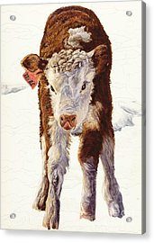 Country Life Winter Baby Calf Acrylic Print