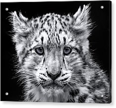 Acrylic Print featuring the photograph Snowcub by Chris Boulton