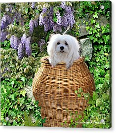 Snowdrop In A Basket Acrylic Print