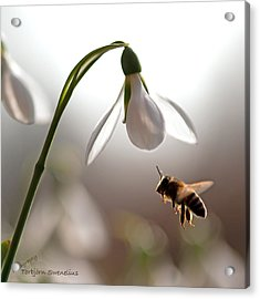Snowdrops And The Bee Acrylic Print