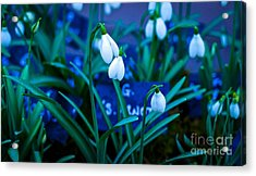 Snowdrops Acrylic Print by David Warrington