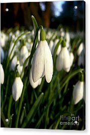 Acrylic Print featuring the photograph Snowdrops by Nina Ficur Feenan