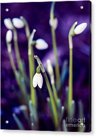 Snowdrops - One For All And All For One Acrylic Print