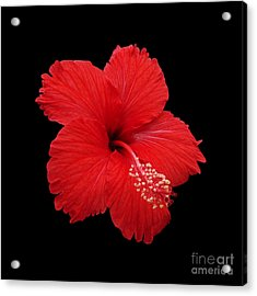 Acrylic Print featuring the photograph Snowflake Hibiscus by Judy Whitton