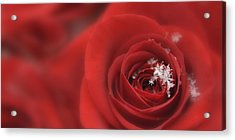 Snowflakes On A Rose Acrylic Print by Lori Grimmett