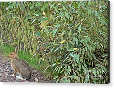 Snowshoe Hare In Montana Acrylic Print by Natural Focal Point Photography