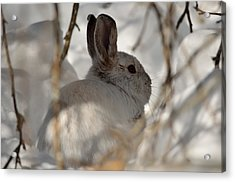 Snowshoe Hare Acrylic Print by James Petersen
