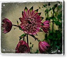 Snowstar Acrylic Print by Olivia Narius