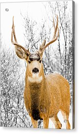 Snowstorm Stag Acrylic Print