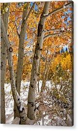 Snowy Aspen Grove Acrylic Print